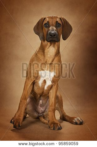 Rhodesian Ridgeback Dog Over Brown Background