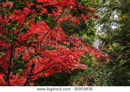Picturesque ornamental park-garden Butchart Gardens on Vancouver Island, Canada. Blooming red flowers tree