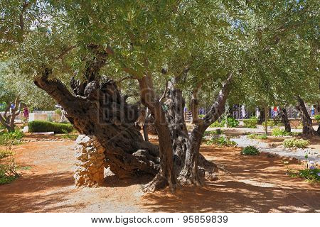 Footpath between old olives in the Garden of Gethsemane. Place of prayer of Jesus before arrest