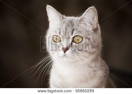 portrait of a beautiful gray striped cat