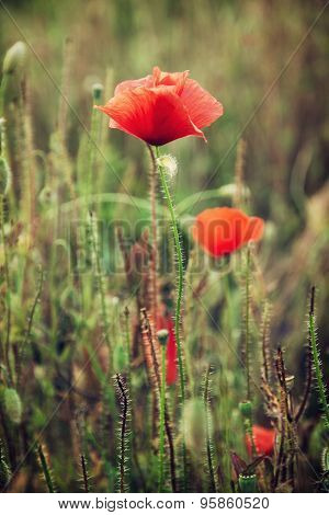 Beautiful Red Corn Poppy Flowers (papaver Rhoeas) In The Meadow