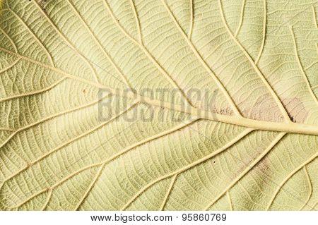 Close Up Natural Teak Leaf Background Texture .