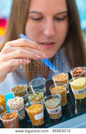 Different varieties of lentils in a laboratory breeding and genetic modification