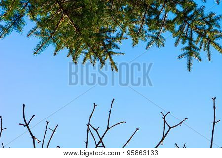 Green pine and branches without leaves against sky