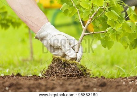 Hand With Glove Planting Small Tree With Roots