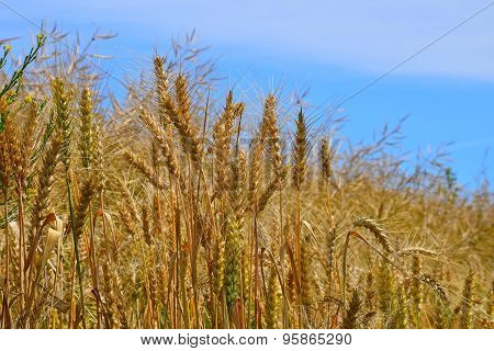 Field Of Ripe Mature Wheat Ears Under Blue Sky