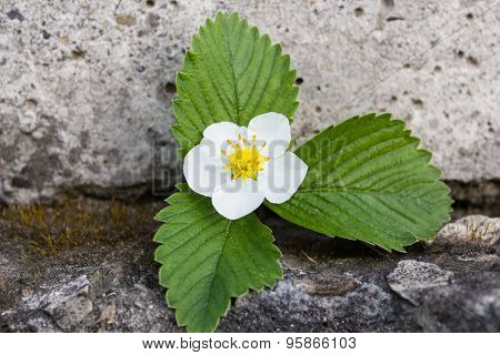 Strawberry Flower In Stone