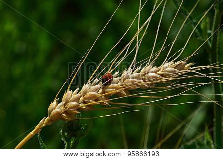 Ladybug On Mature Wheat Ear Close Up In Green Background