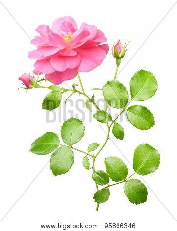 Pink garden rose flowers twig isolated on white background