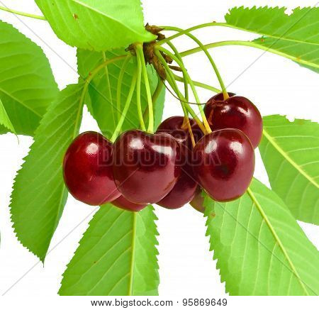 cherries on a twig