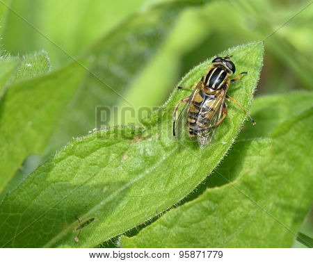 Brindled Hoverfly Or Sunfly