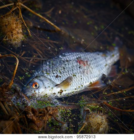 Fish Die In Contaminated Water.