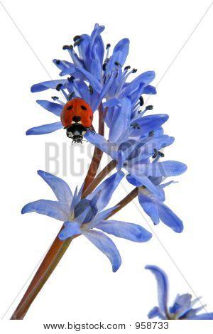 Ladybird On A Blue Snowdrop