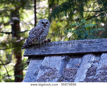 Female Barred Owl with kill