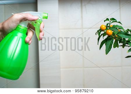 Woman hand spraying christmas cherry in the kitchen