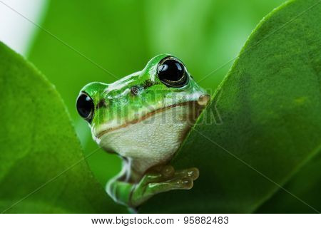 Cute little green tree frog peeking out from behind the leaves