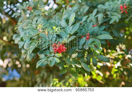 Schinus Terebinthifolius, Brazilian Pepper, Aroeira, Rose Pepper,