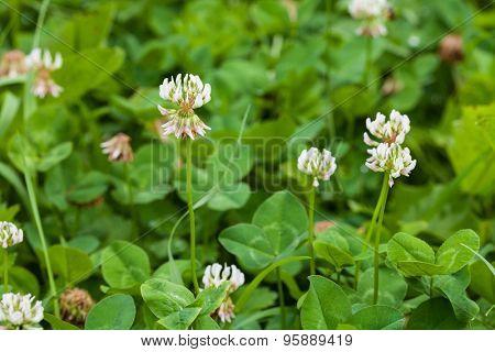 White clover trifolium rapens