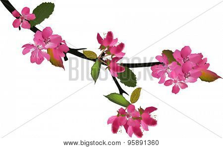 illustration with pink apple tree blossom isolated on white background