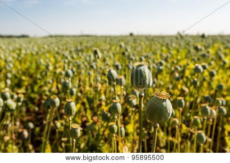 Poppy Seed Pods In A Field From Close