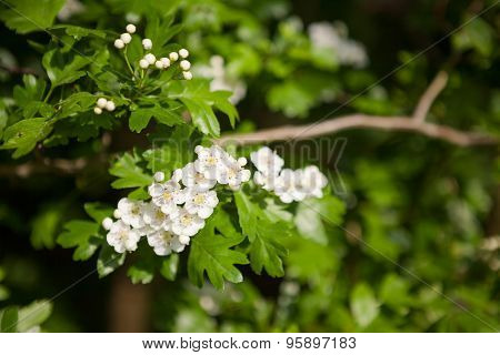 Hawthorn Blossoms Close-up