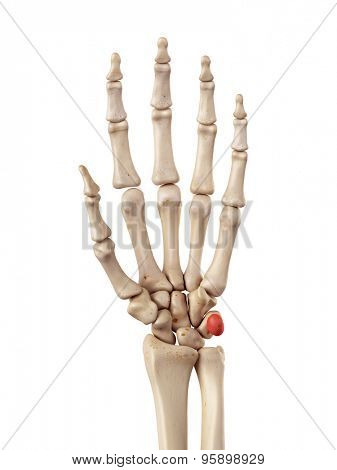medical accurate illustration of the pisiform bone