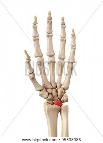 medical accurate illustration of the lunate bone