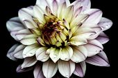 stock photo of raindrops  - A purple and yellow water lily type Dahlia with raindrops - JPG