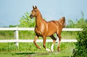 stock photo of chestnut horse  - chestnut arab stallion runs free in paddock in summer - JPG