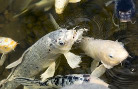 image of koi fish  - Gold white black and multicolored Koi fish in a pond at a local plaza - JPG