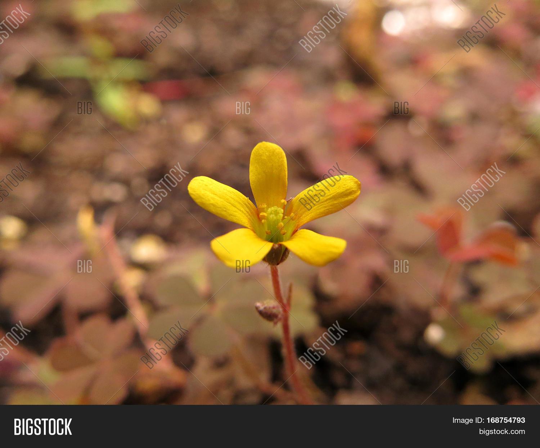 Yellow Clover Flower Weed Growing Image Photo Bigstock