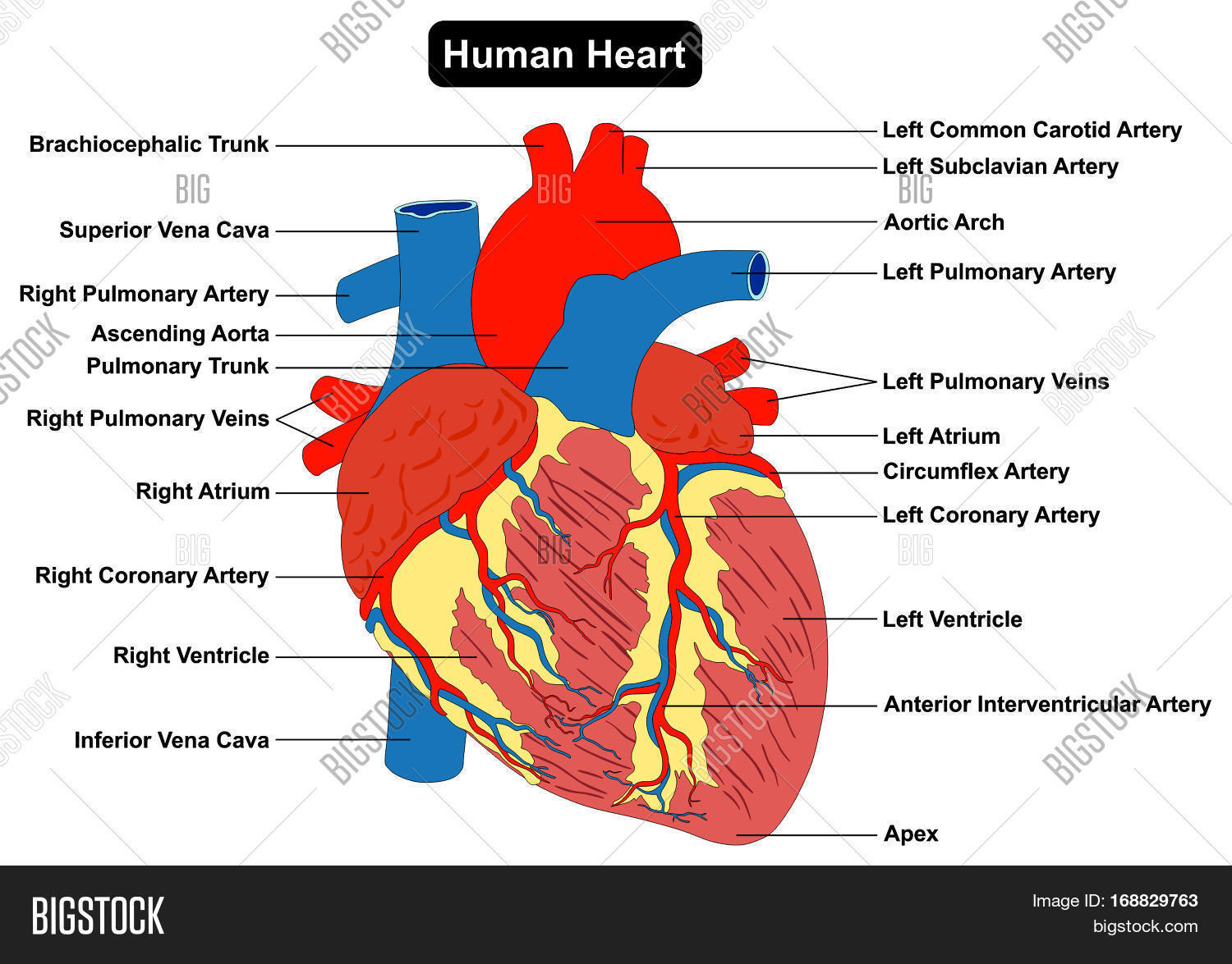 Human heart muscle structure anatomy infographic chart for Exterior of heart diagram