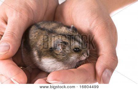 Dwarf hamster in woman hands