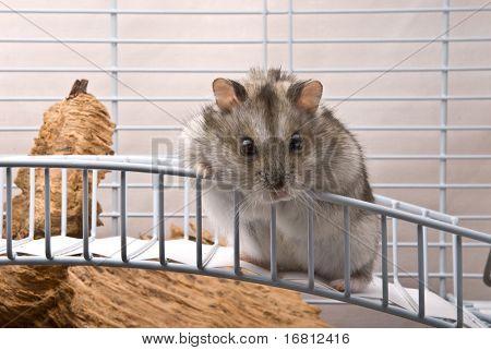 Dwarf hamster looking in camera