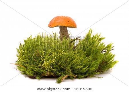 Beautiful Orange-cap boletus mushroom on moss. Isolated on studio white background
