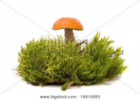 Beautiful Orange-cap boletus mushroom on moss. Isolated on studio white background