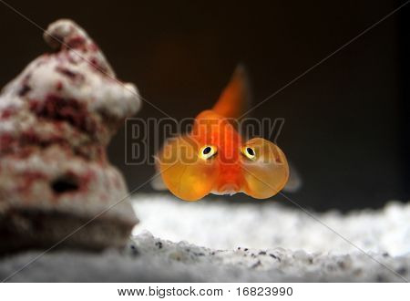 fine image of orange bubble eyes goldenfish background