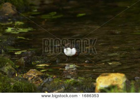Lathkill Dipper
