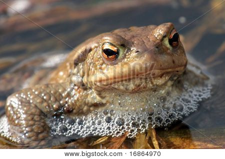 True toad - closeup
