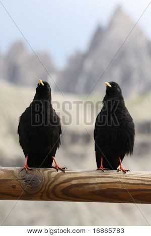 Two Blackbirds in Dolomiti - Italy - Europe