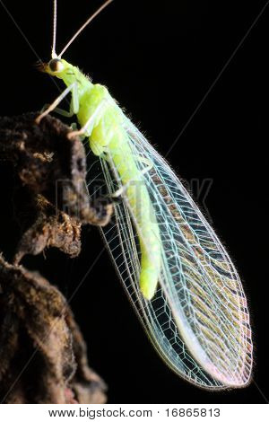 Lacewing Fly Chrysopa carnea - Chrysopidae - Europe