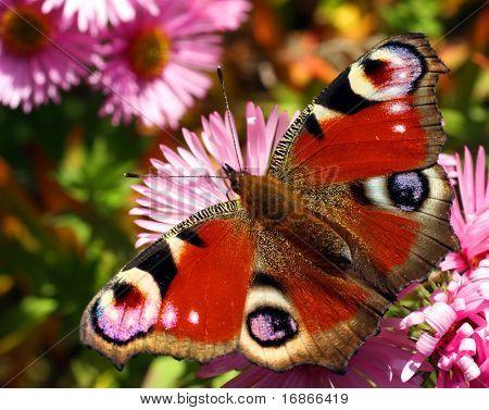Beautiful european butterfly Inachis Io in autumn flower Aster Dumosus