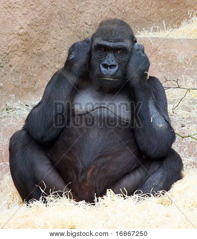 Female gorilla in ZOO Prague - Czech Republic Europe