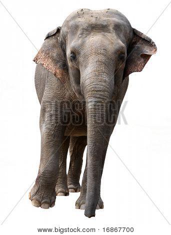 Running elephant - isolated