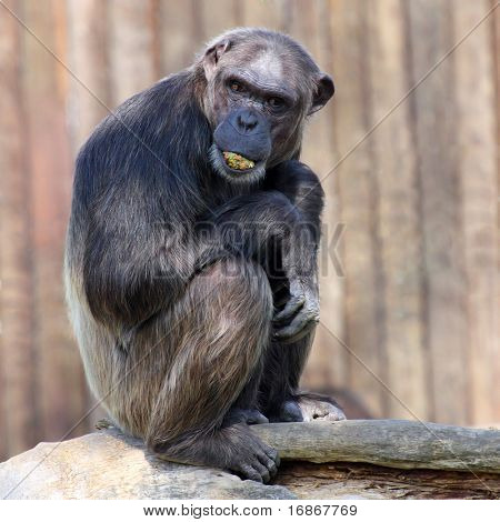 A photo of a chimpanzee in Zoo Pilsen - Czech Republic - Europe