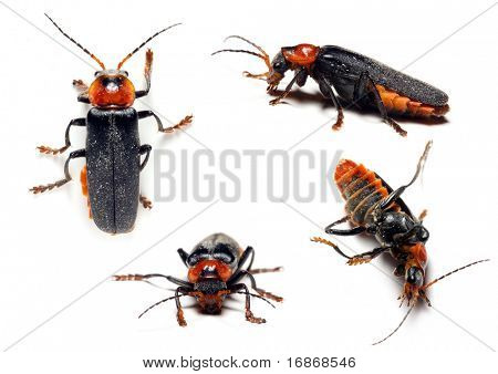 Ropalopus femoratus - Longhorn beetle - wood-destroying agent - collection on white background