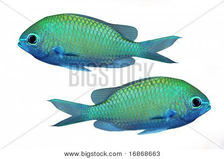Tropisches Riff-Fischen - isoliert auf weißem Hintergrund