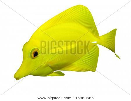 Tropical reef fish - Surgeonfish - isolated on white background