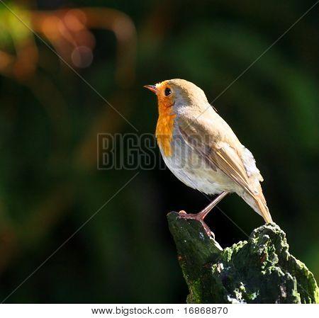 The European Robin (Erithacus rubecula)