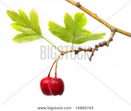 Crataegus oxyacantha -  Hawthorn. The total complex of plant constituents is considered valuable as a remedy for those with circulatory and cardiac problems.